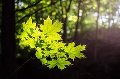 Foglie di acero in primavera Fotografie Stock Libere da Diritti