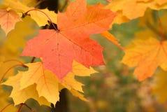 Foglie di acero in primo piano della foresta di autunno Fotografie Stock