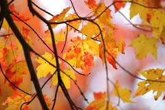 Foglie di acero retroilluminate nel tempo di autunno fotografie stock libere da diritti