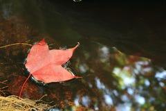Foglie di acero rosse Fotografie Stock