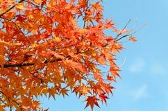 Foglie di acero rosse in autunno Fotografia Stock Libera da Diritti