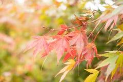 Foglie di acero rosse con il fondo della sfuocatura nella stagione di autunno fotografia stock