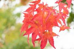 Foglie di acero rosse con il fondo della sfuocatura nella stagione di autunno immagine stock