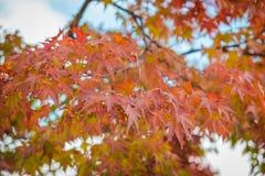 Foglie di acero rosse con il fondo della sfuocatura nella stagione di autunno immagini stock libere da diritti