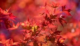 Foglie di acero rosse con il fuoco molle delle foglie di acero rosse Immagine Stock Libera da Diritti
