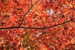 Foglie di acero rosse ed arancio in autunno nel Giappone Fotografia Stock Libera da Diritti