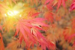 Foglie di acero rosse, gialle ed arancio in autunno Immagini Stock