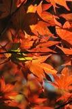 Foglie di acero rosse giapponesi nel parco Fotografia Stock