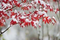Foglie di acero rosse nella nevicata nel giardino di inverno fotografie stock libere da diritti