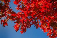 Foglie di acero rosse retroilluminate contro il cielo blu Fotografia Stock