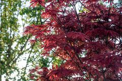 Foglie di acero rosse sul fondo del cielo blu Fotografie Stock
