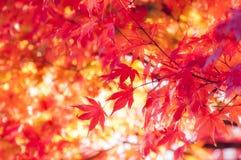 Foglie di acero rosse vicino al tramonto in autunno immagini stock libere da diritti
