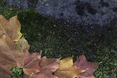 Foglie di acero su Moss Covered Rock immagine stock
