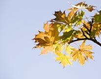 Foglie di acero su un albero Immagine Stock