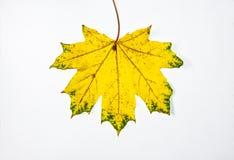 Foglie di acero su un fondo bianco Astrazione di autunno, carta da parati immagine stock