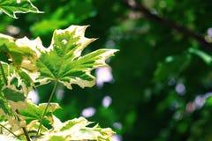 Foglie di acero su un fondo verde indistinto Immagine Stock Libera da Diritti