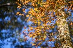 Foglie di acero variopinte backlit contro il colore della foresta di autunno Immagine Stock Libera da Diritti