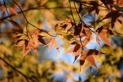 Foglie di acero variopinte backlit contro il colore della foresta di autunno Immagini Stock