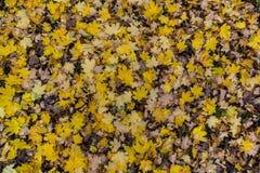 Foglie di acero variopinte di autunno Fotografie Stock Libere da Diritti
