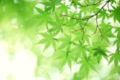 Foglie di acero verdi Fotografia Stock