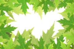 Foglie di acero verdi Fotografie Stock