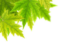 Foglie di acero verdi Fotografia Stock Libera da Diritti