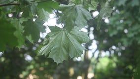 Foglie di acero verdi che crescono su un ramo coperto in pioggia che soffia nel vento archivi video