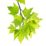 Foglie di acero verdi con la filiale Fotografie Stock Libere da Diritti