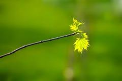 Foglie di acero verdi della primavera Fotografia Stock