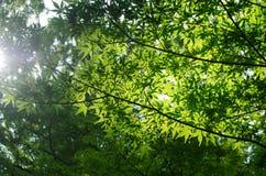 Foglie di acero verdi di estate Immagini Stock