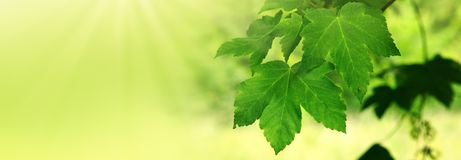 Foglie di acero verdi e luce solare Fotografia Stock