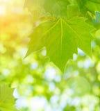 Foglie di acero verdi fresche Fotografie Stock Libere da Diritti