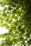 Foglie di acero verdi giapponesi fotografia stock