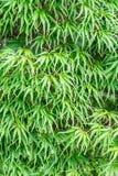 Foglie di acero verdi giapponesi di estate Fotografia Stock Libera da Diritti