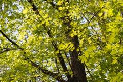Foglie di acero verdi Giovane fogliame contro la primavera o l'estate blu Fotografia Stock Libera da Diritti