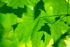Foglie di acero verdi a macroistruzione Fotografie Stock Libere da Diritti