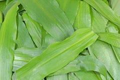 Foglie di aglio selvaggio (ursinum dell'allium) Immagini Stock
