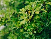 Foglie di alloro e delle bacche su un albero Foglia dell'alloro nel selvaggio Fotografie Stock Libere da Diritti