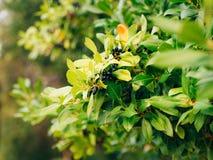 Foglie di alloro e delle bacche su un albero Foglia dell'alloro nel selvaggio Fotografia Stock