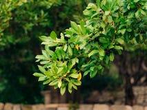Foglie di alloro e delle bacche su un albero Foglia dell'alloro nel selvaggio Immagini Stock