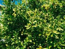 Foglie di alloro e delle bacche su un albero Foglia dell'alloro nel selvaggio Fotografia Stock Libera da Diritti