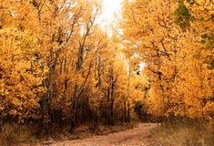 Foglie di Autumn Aspen Trees Forest Yellow Orange Immagine Stock
