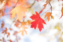 Foglie di Autumn Background With Silver Maple Fotografie Stock