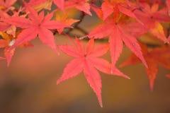 Foglie di Autumn Maple del giapponese del fondo Immagini Stock Libere da Diritti