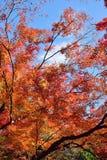 Foglie di Autumn Maple del giapponese del fondo Fotografie Stock