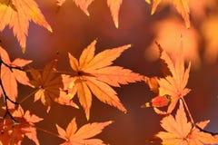 Foglie di Autumn Maple del giapponese del paesaggio Immagine Stock Libera da Diritti