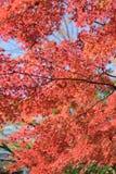 Foglie di Autumn Maple del giapponese del paesaggio Immagini Stock Libere da Diritti