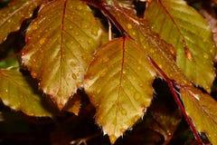 Foglie di autunno Immagini Stock Libere da Diritti
