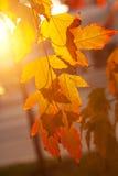 Foglie di autunno al tramonto Fotografia Stock