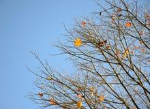 Foglie di autunno arancio Immagine Stock